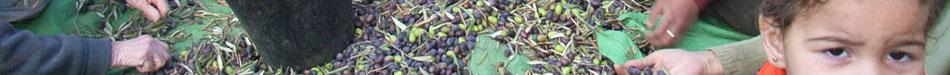 olivier huile d'olive palestine solidarite